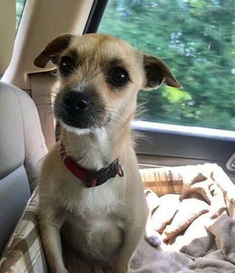 La petite chienne accouche sur la banquette arrière de la voiture juste après son adoption