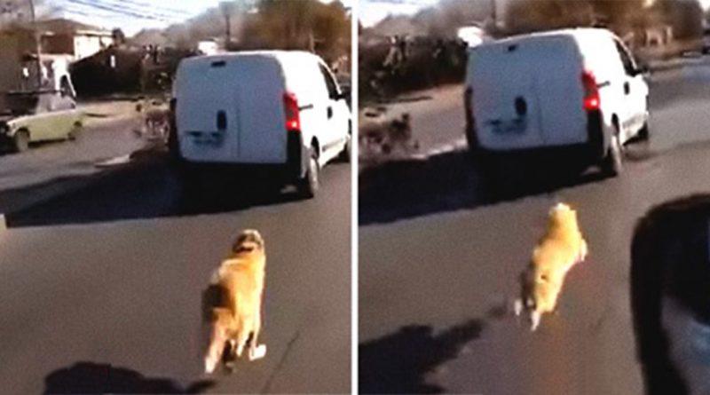 Ils abandonnent leur chien sur l'avenue et l'animal court désespérément après eux