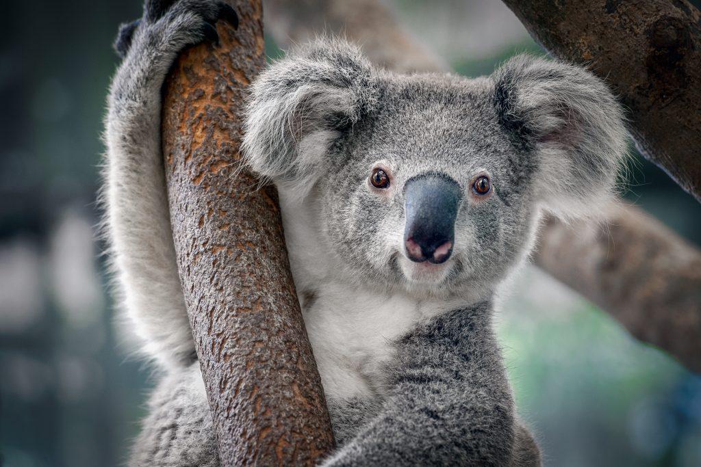 Leur population se réduisant comme peau de chagrin, les koalas seraient désormais « fonctionnellement éteints »