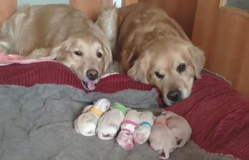 Des parents golden retriever ont été filmés en train de regarder affectueusement leurs chiots nouveau-nés