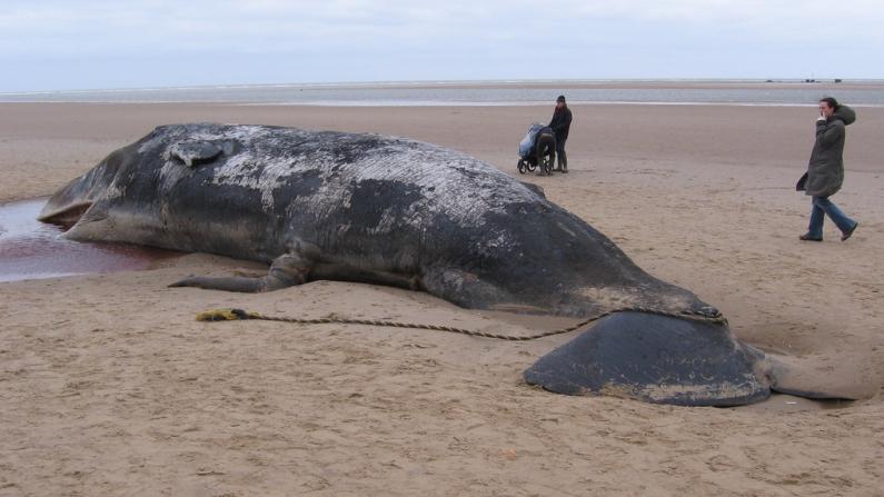 Une baleine enceinte meurt à cause d'un filet de pêche abandonné qui s'est coincé dans sa bouche