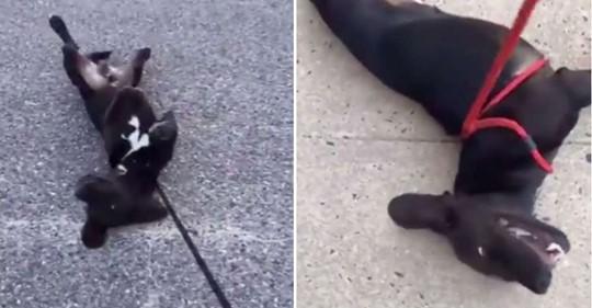Après la promenade, dés que ce chien arrive vers chez lui, il fait des «malaises»