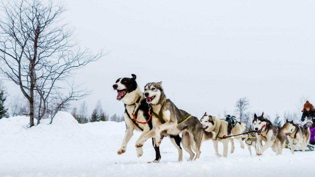 Le calvaire des chiens de traîneaux victimes du tourisme de masse en Laponie