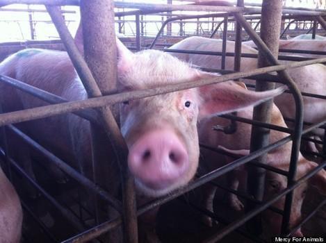L214 et Yann Arthus-Bertrand dévoilent «l'enfer sur Terre» dans un élevage porcin du Finistère