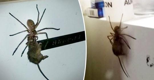 Un Australien filme une araignée géante transportant une souris morte sur la porte de son réfrigérateur