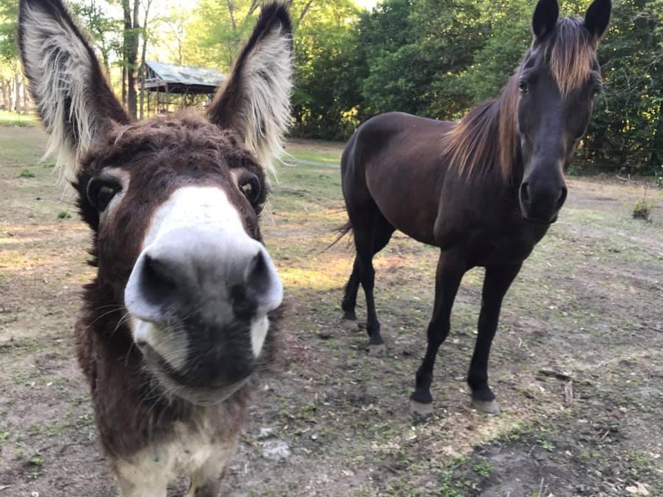 Un âne rejoint l'homme pour une reddition hilarante de la chanson du «Roi Lion»