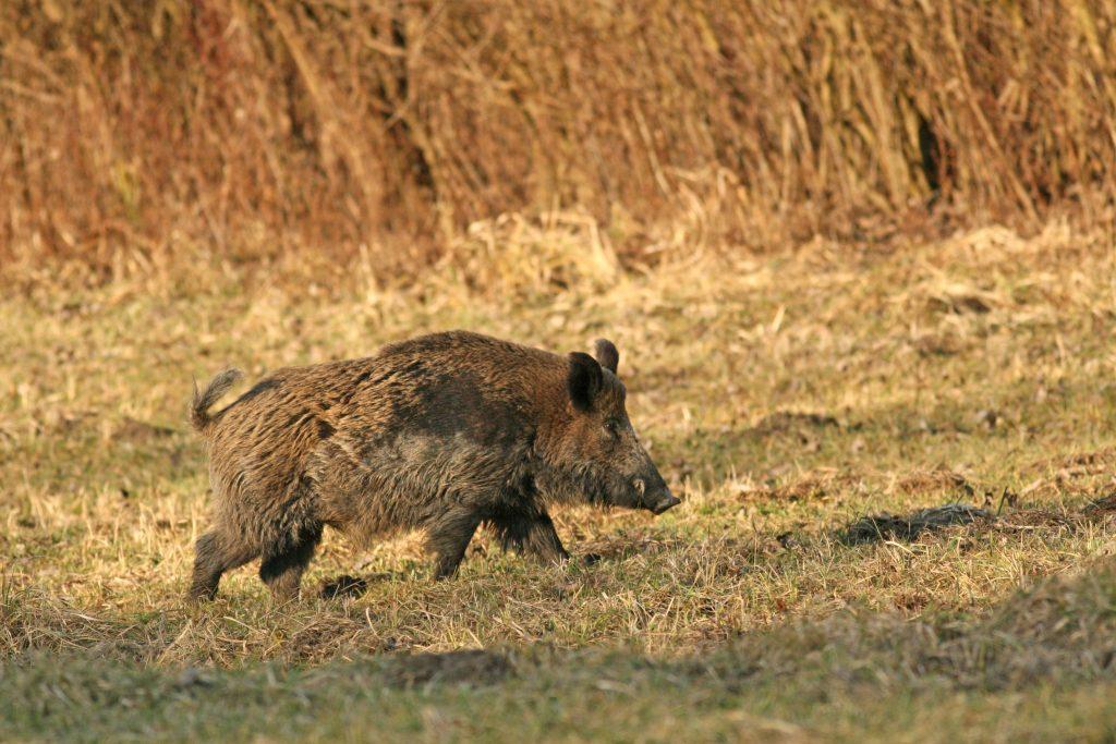 158 sangliers tués lors d'une battue, la fédération de chasse «ne peut pas cautionner»