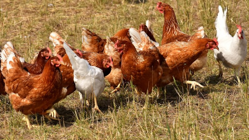 Plancher-Bas: la commune offre des poules à ses habitants pour réduire leurs déchets