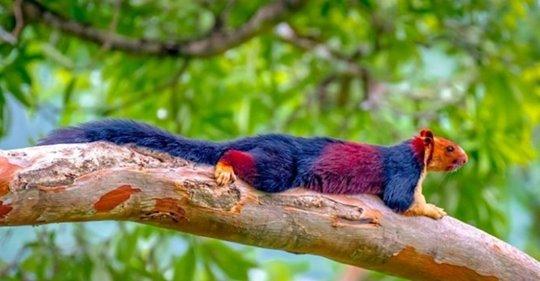 L'écureuil géant de l'Inde possède un pelage aux couleurs somptueuses