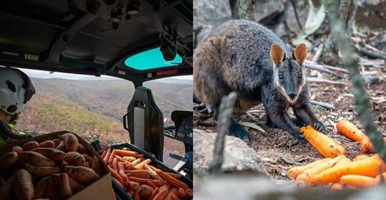 Australie : des avions parachutent de la nourriture fraîche pour les animaux qui meurent de faim