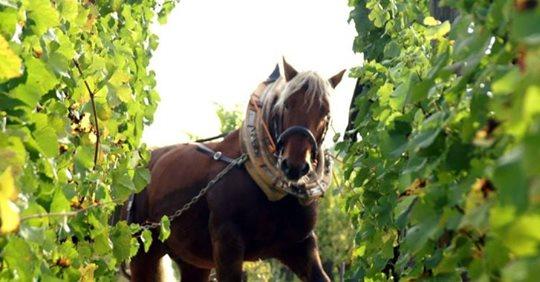 L'odeur de Sésame, le cheval de trait, incommode les voisins et il est obligé d'aller paître ailleurs