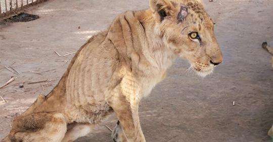 Soudan : multiplication des appels à l'aide après la découverte de cinq lions »malades et mal-nourris»