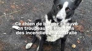 Australie : un chien aide à sauver un troupeau de moutons des feux de forêt