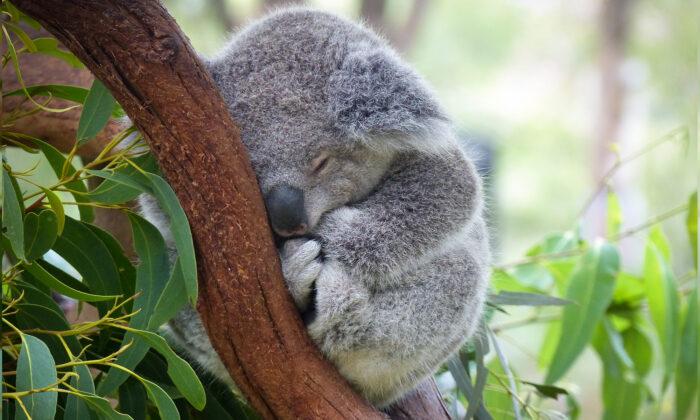 Un bébé koala perdu a été trouvé accroché au dos d'un golden retriever pour se protéger pendant la nuit froide