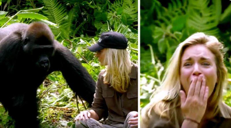 Il apprivoise un gorille, 6ans plus tard il rencontre son épouse, même après avoir été averti, elle s'en approche de trop