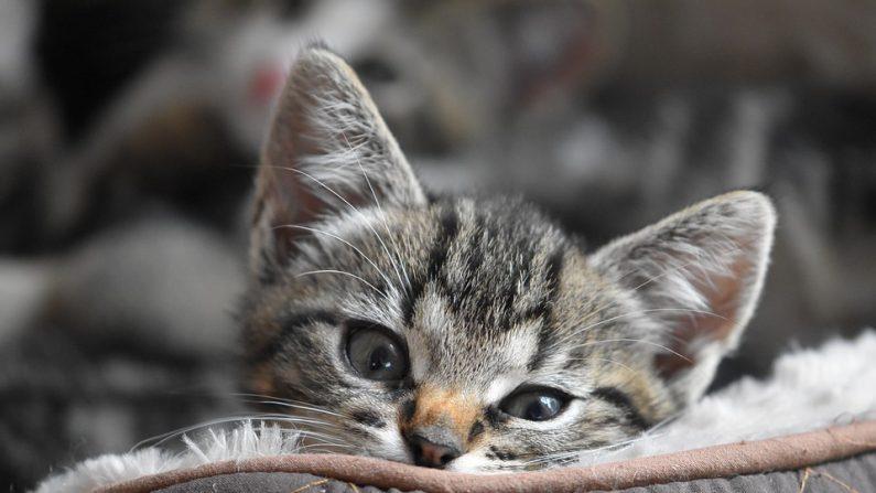 Les propriétaires de chats non pucés ni tatoués s'exposeront bientôt à une lourde amende