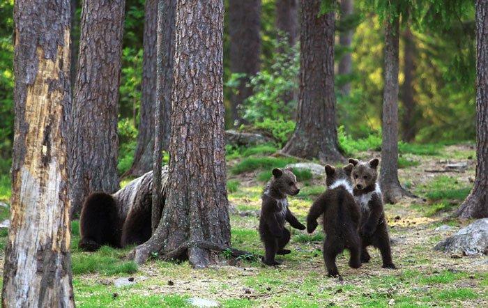 En Finlande, un photographe tombe sur des oursons dansant dans la forêt