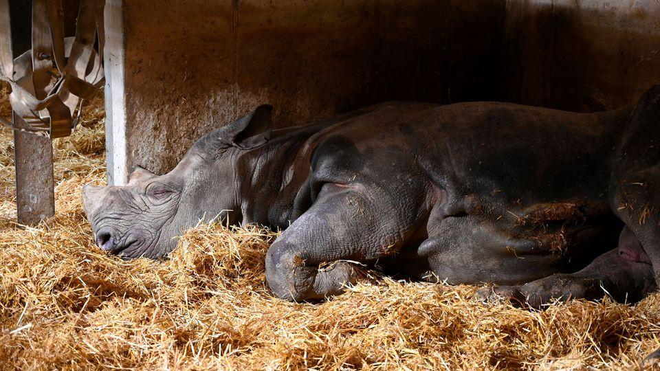 Jacob, le rhinocéros noir du zoo de Pont-Scorff, est mort à cause de la captivité
