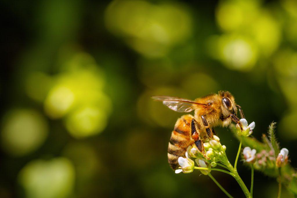L'abeille a été déclarée «l'être vivant le plus important de la planète»