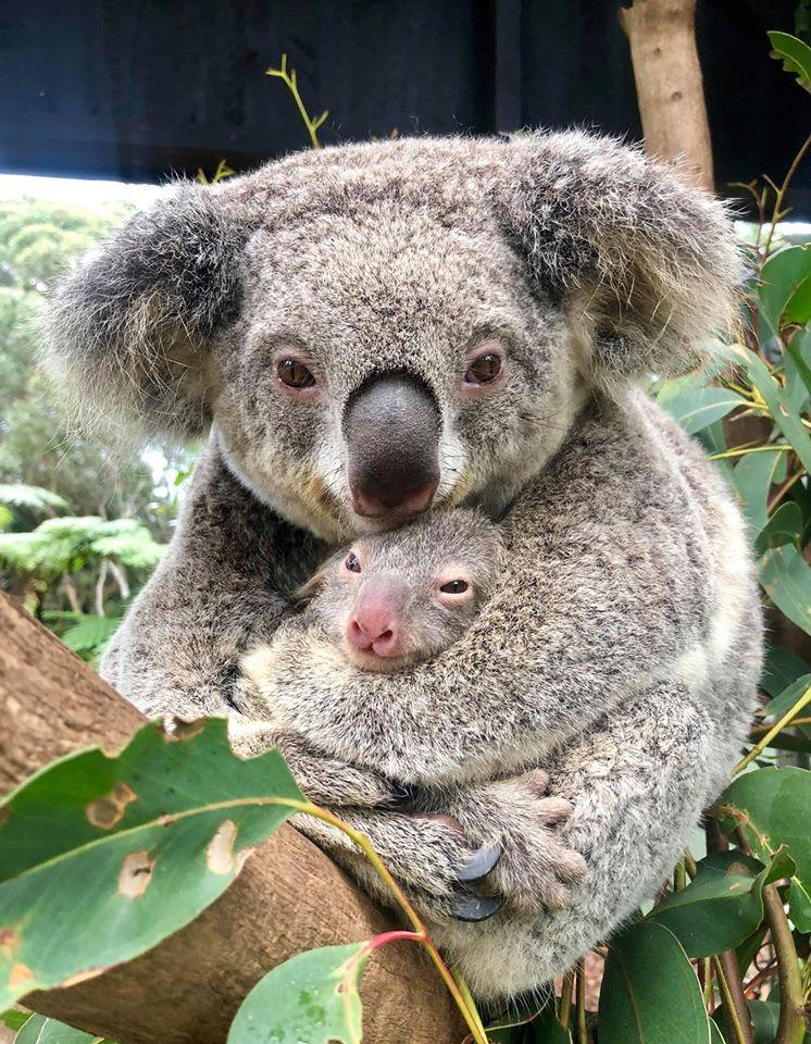 En Australie, naissance du premier koala depuis les incendies dévastateurs