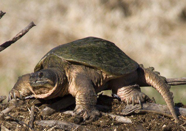 Canal du Midi: après les tortues alligators, une autre espèce de tortue dangereuse découverte près de Toulouse