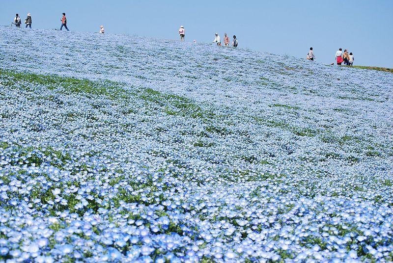 Au Japon, plus de 5 millions de fleurs bleues offrent un paysage merveilleux