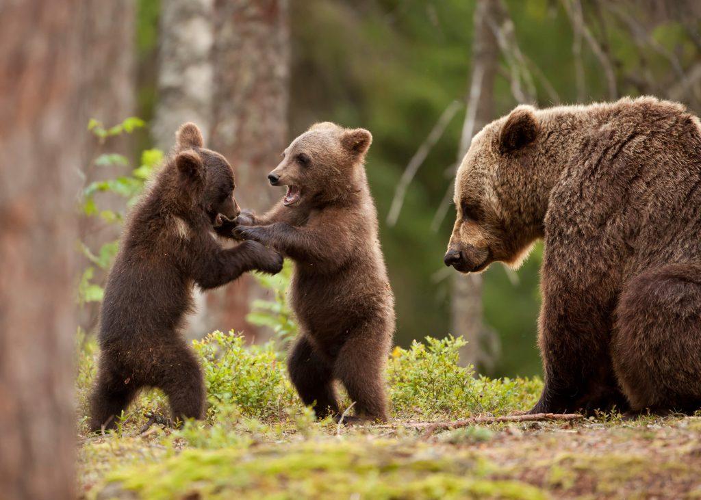 Donal Trump devrait rendre légale la chasse des ours dans leurs tanières