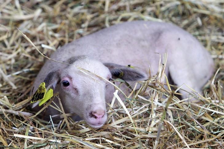 Aveyron : Dans sa dernière vidéo, L214 dénonce le sort des agneaux de la filière roquefort