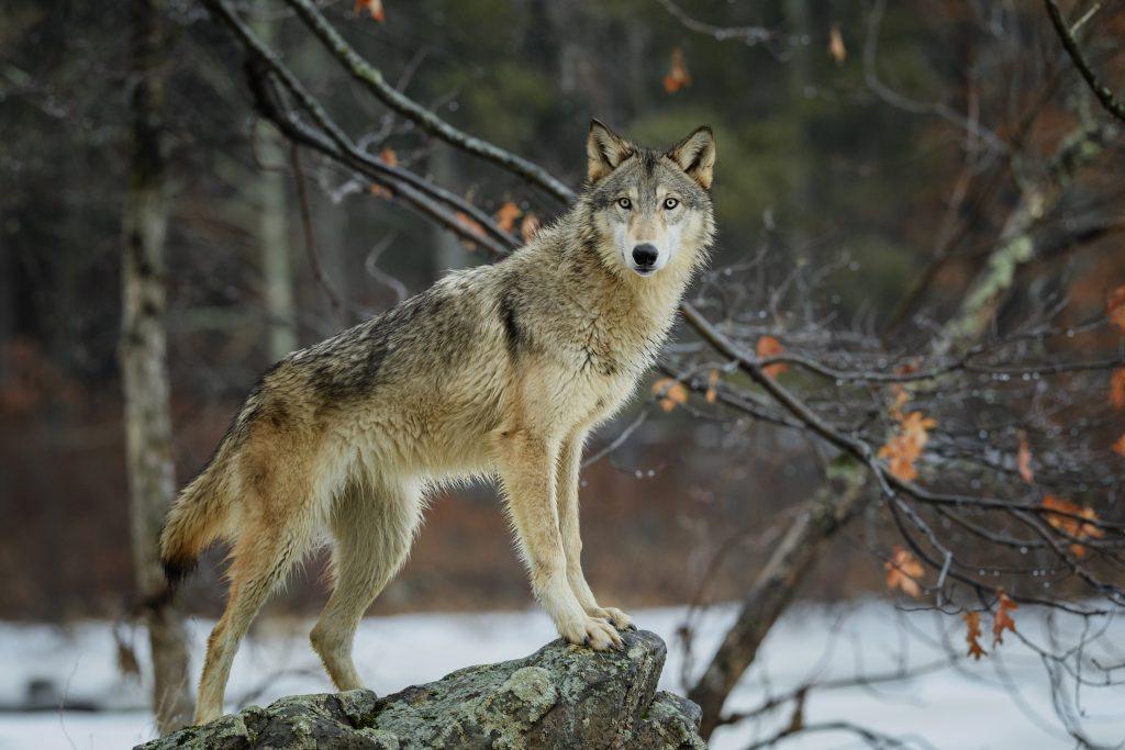 En Europe, les loups sont aussi protégés dans les zones habitées