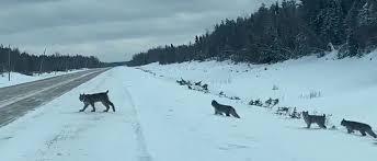 Un conducteur canadien filme une apparition très rare – une maman lynx avec ses petits