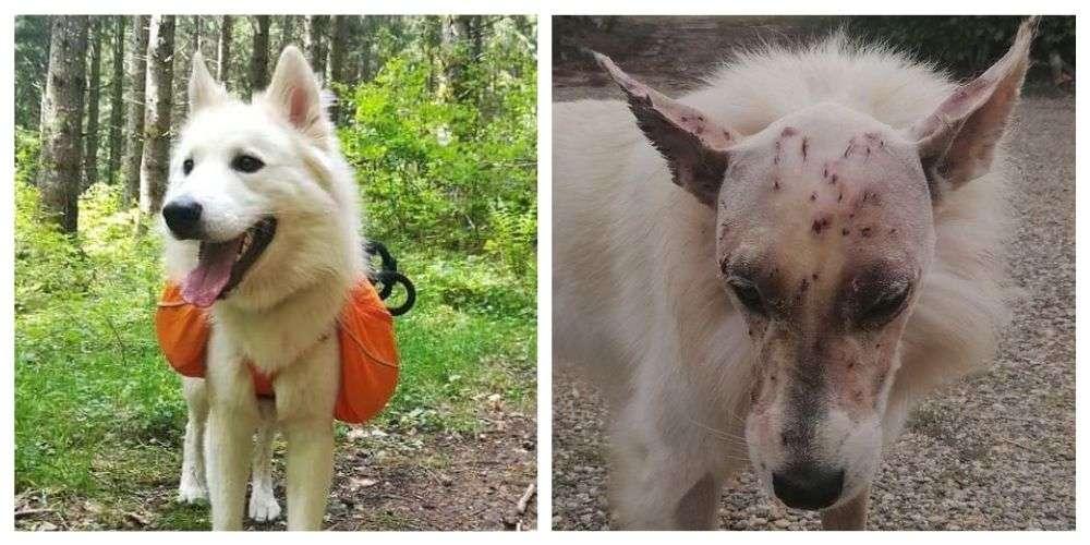 Un chien blessé d'un coup de fusil à la tête est «un miraculé»