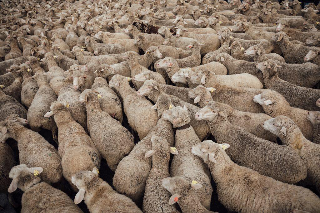 6.000 moutons et vaches coincés par la neige en montagne en Savoie dans le col du Glandon