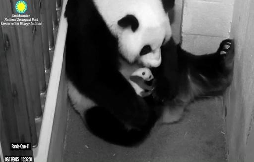 Vidéo : regardez ce petit panda ramper vers sa maman pour un câlin